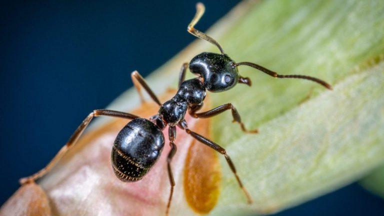 Myre på et blad